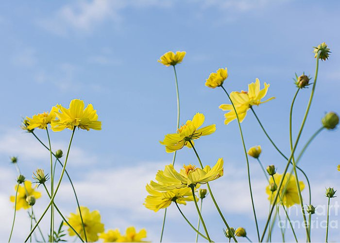 Beauty Greeting Card featuring the photograph Yellow Cosmos Flowers With Light Blue by Thatreec