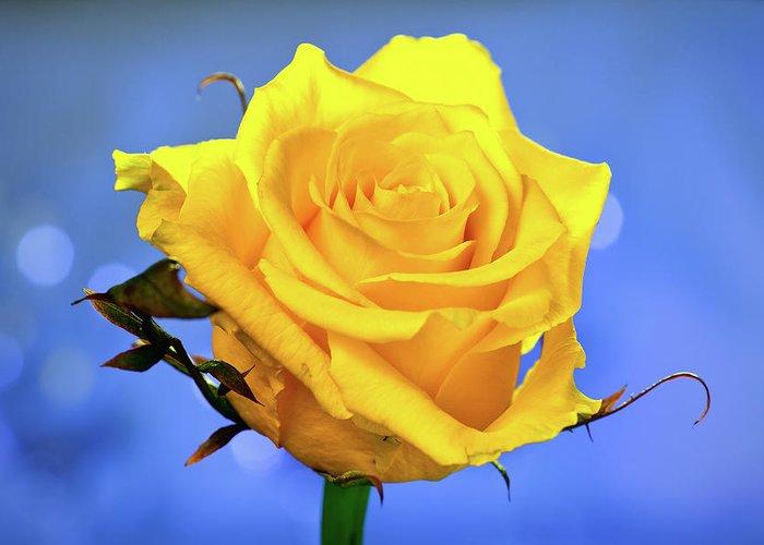 Slovenia Greeting Card featuring the photograph Yellow Rose by © Karmen Smolnikar