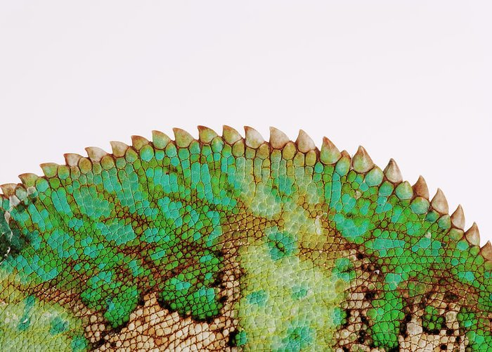 White Background Greeting Card featuring the photograph Yemen Chameleon, Close-up Of Skin by Martin Harvey