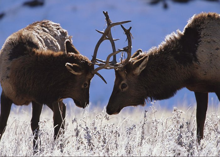 Animal Themes Greeting Card featuring the photograph Young Bull Rocky Mountain Elk Cervus by Riccardo Savi
