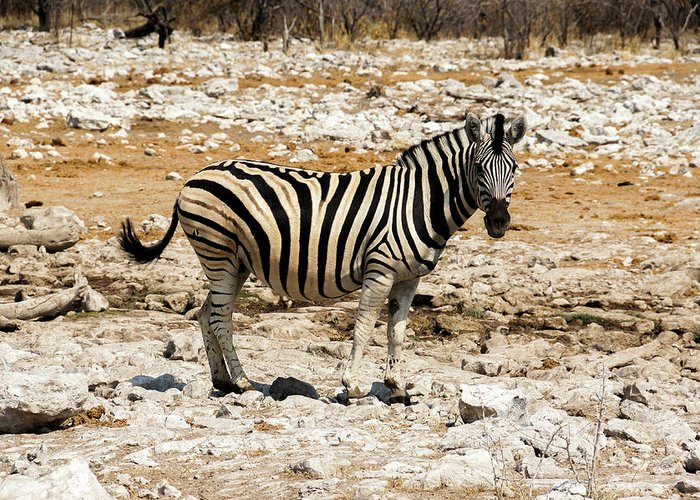 Animal Themes Greeting Card featuring the photograph Zebra And White Rocks by Taken By Chrbhm
