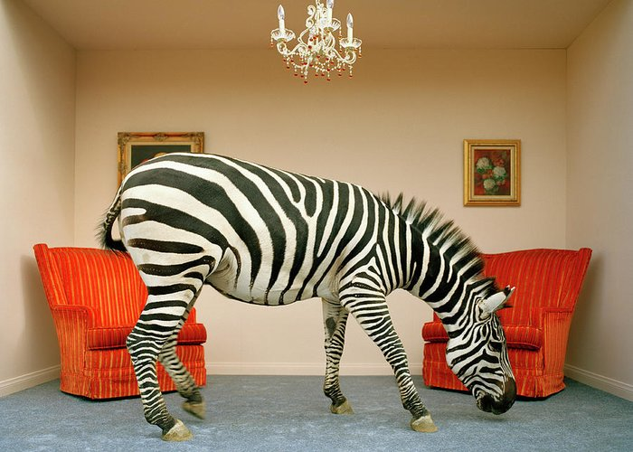 Out Of Context Greeting Card featuring the photograph Zebra In Living Room Smelling Rug, Side by Matthias Clamer