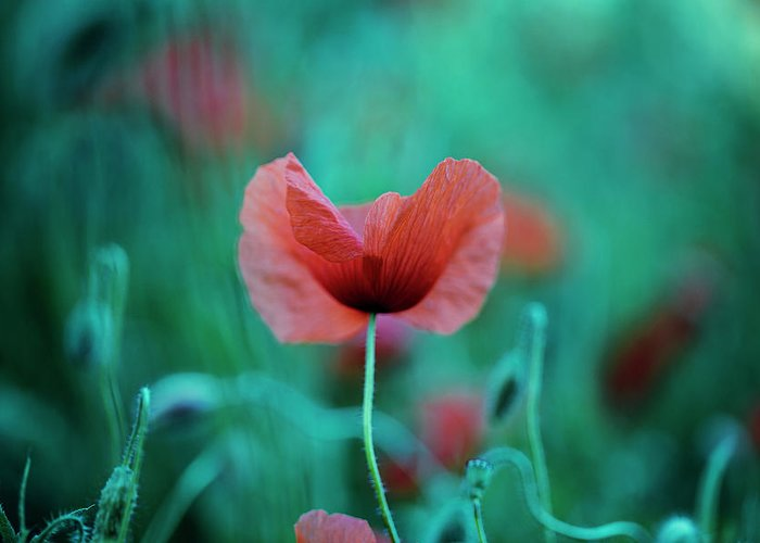 Poppy Flower Greeting Card featuring the photograph Summer Poppy by Nailia Schwarz