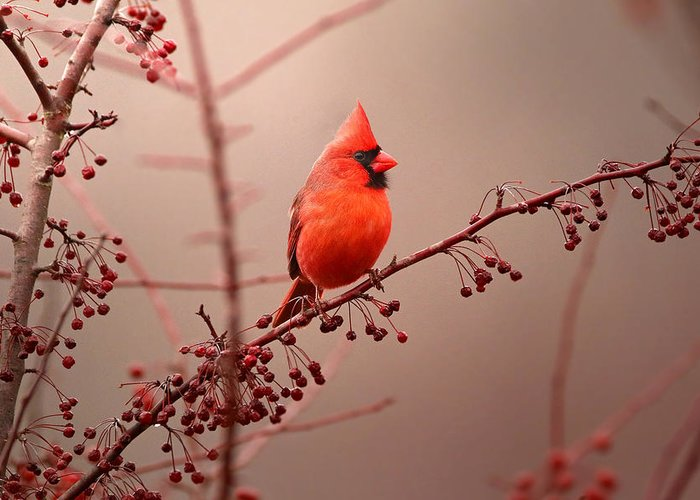 Cardinal Greeting Card featuring the photograph Bold Beauty by Rob Blair