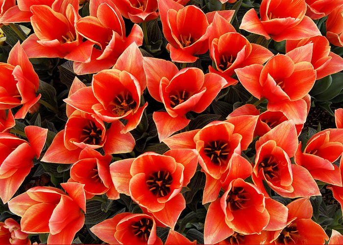 Bouquet Red Orange Tulips Greeting Card featuring the photograph Bouquet of Red-Orange Tulips by Keith Gondron