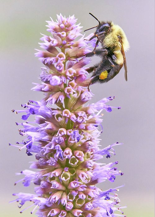 Bumblebee Greeting Card featuring the photograph Bumblebee on Blue Giant Hyssop by Jim Hughes