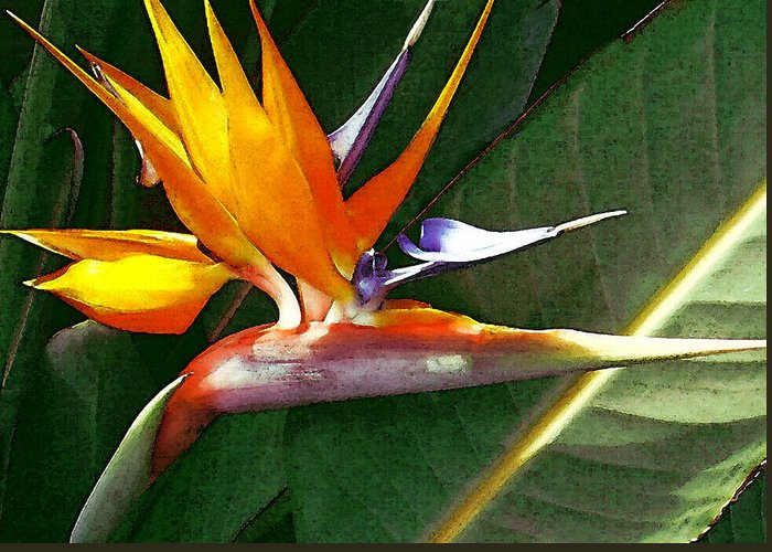 Bird Of Paradise Greeting Card featuring the photograph Crane Flower by James Temple