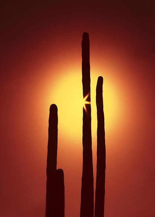 Sun Greeting Card featuring the photograph Encinitas Cactus by Andre Aleksis