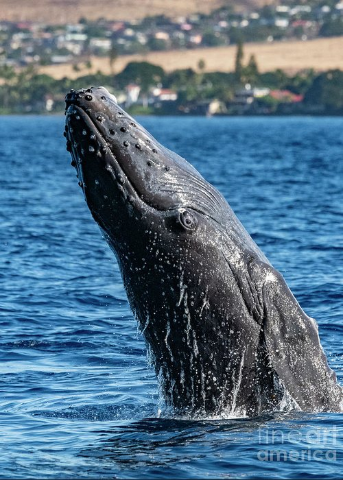 00595515 Greeting Card featuring the photograph Juvenlie Humpback Breaching by Flip Nicklin