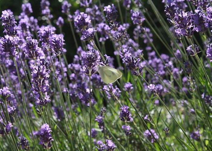 Lavender Greeting Card featuring the photograph Lavender by Vicki Cridland