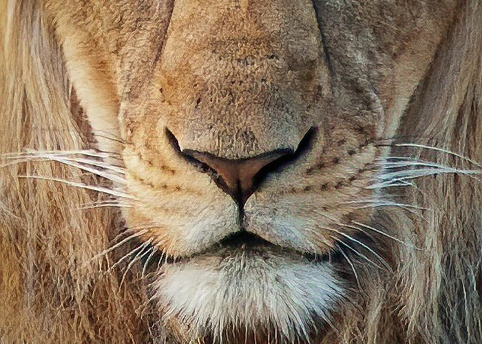 Lion Greeting Card featuring the photograph Lion by Steven Sparks