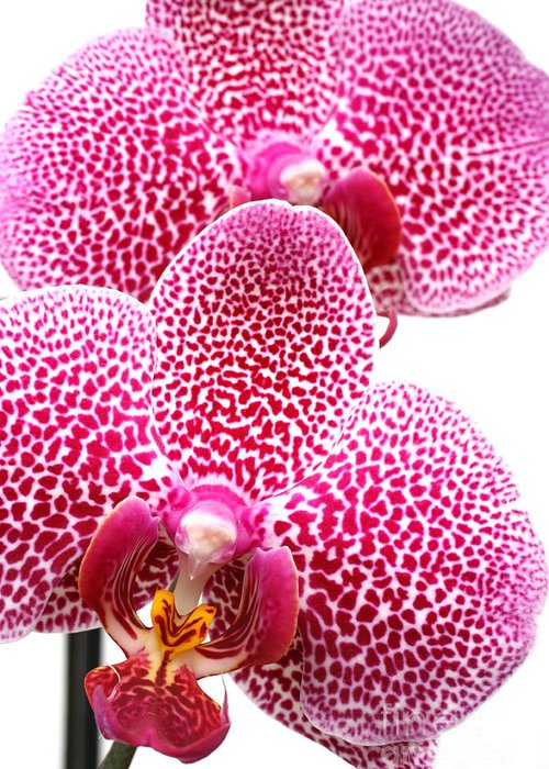 Bloom Greeting Card featuring the photograph Phalaenopsis orchid by Gaspar Avila