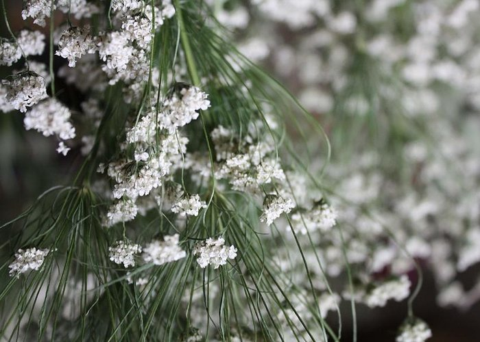 Queen Anne's Lace Greeting Card featuring the photograph Queen Anne's Lace by Vicki Cridland