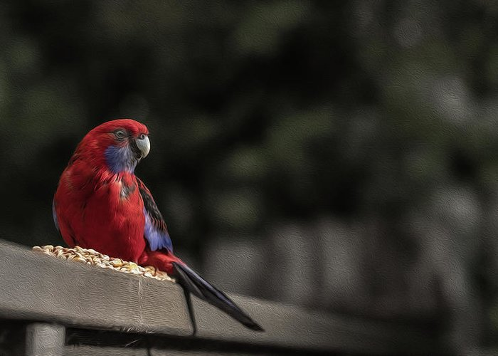 Rosella Greeting Card featuring the photograph Rosella 1 by Leigh Henningham