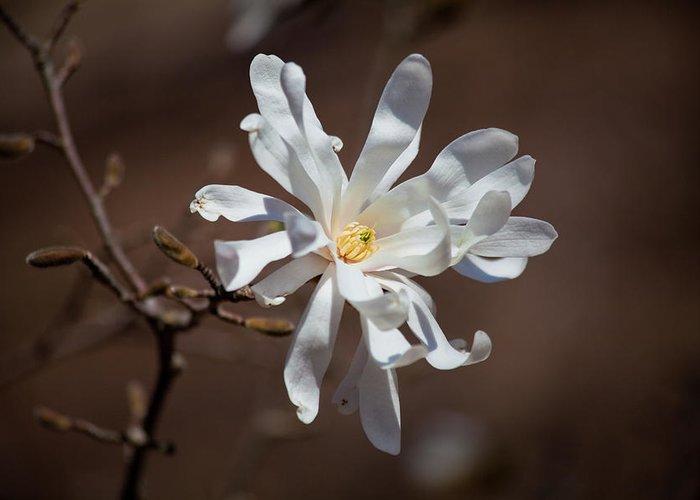 Royal Star Magnolia Flower Greeting Card featuring the photograph Royal Star Magnolia Flower by Trevor Slauenwhite