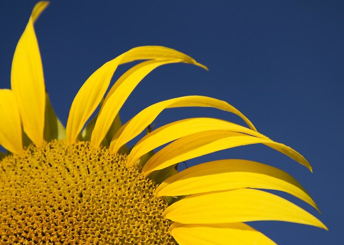 3scape Greeting Card featuring the photograph Sunflower by Adam Romanowicz
