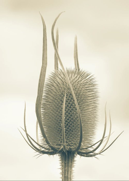 Teasel Greeting Card featuring the photograph Unexpected Direction by Bear R Humphreys