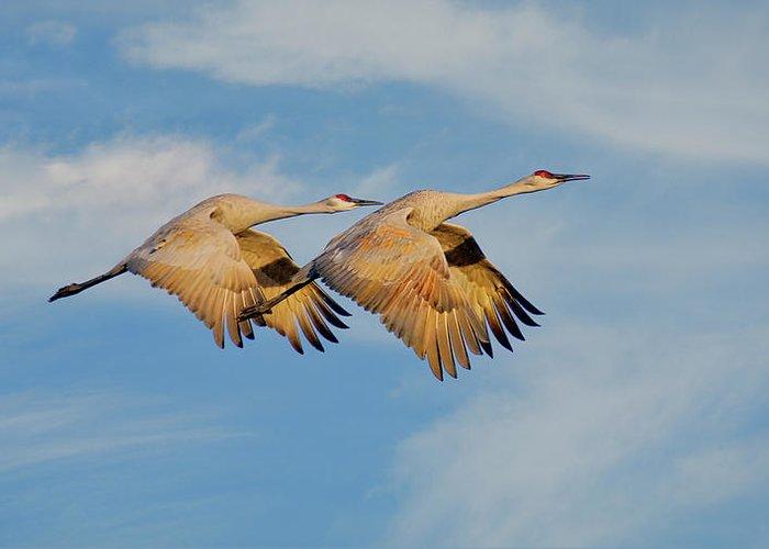 Sandhill Cranes Greeting Card featuring the photograph Unison in Flight-Sandhill Cranes by Zayne Diamond Photographic