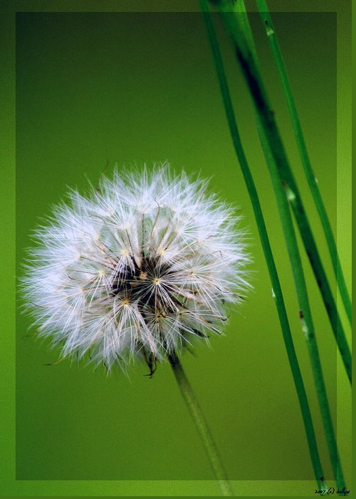 Dandelion Greeting Card featuring the photograph Waiting for the Winds of Deliverance by Holly Kempe