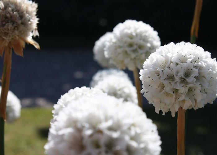 Aliums Greeting Card featuring the photograph White Aliums by Vicki Cridland