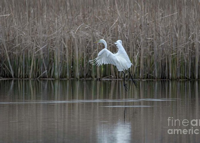 White Egret Greeting Card featuring the photograph White Egret - 2 by David Bearden