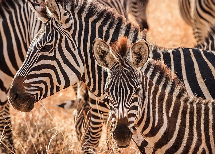 3scape Greeting Card featuring the photograph Zebras by Adam Romanowicz