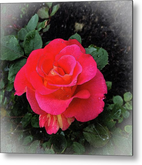 Gorgeous George Red Rose Metal Print featuring the mixed media Gorgeous George by Don Wright