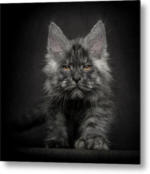 Cats Metal Print featuring the photograph Beauty Or Beast by Robert Sijka