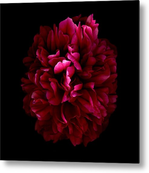 Scanography Photographs Metal Print featuring the photograph Blood Red Peony by Deborah J Humphries