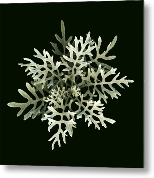 Scanography Metal Print featuring the photograph Dusty Miller by Deborah J Humphries