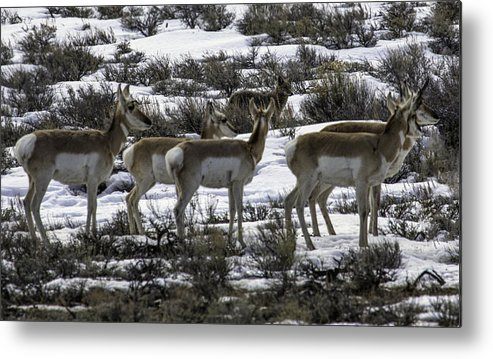 Coyote Metal Print featuring the photograph Coyote On Watch by Susi Stroud
