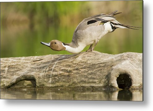 Anas-platyrhynchos Metal Print featuring the photograph Northern Pintail by Mircea Costina Photography