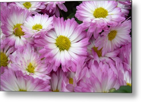 Flowers Metal Print featuring the photograph Pushing Up Daisies by Lori-Anne Fay