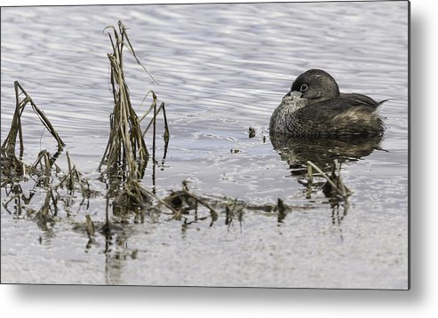 Pied-billed Grebe Metal Print featuring the photograph Resting Pied-billed Grebe by Thomas Young