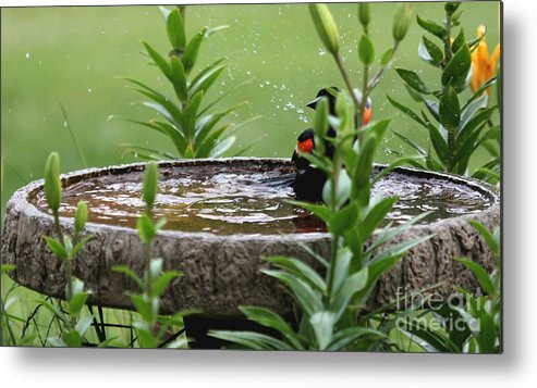 Nature Metal Print featuring the photograph Red-winged Blackbird by Jack R Brock