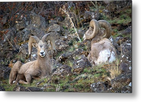 Rams Metal Print featuring the photograph Bedded Pair by Steve McKinzie