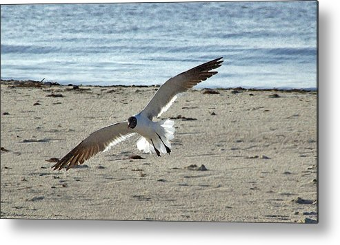 Seagull Metal Print featuring the photograph Gliding In by Brian Wright