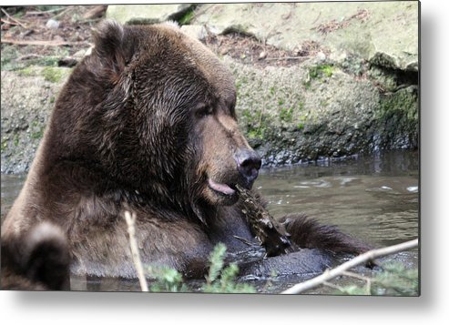 Northwest Trek Metal Print featuring the photograph Grizzley - 0008 by S and S Photo
