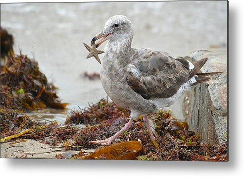 Seagull With Starfish Metal Print featuring the photograph Unwilling Star by Fraida Gutovich