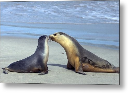Sea Lion Metal Print featuring the photograph A Mothers Love by Mike Dawson