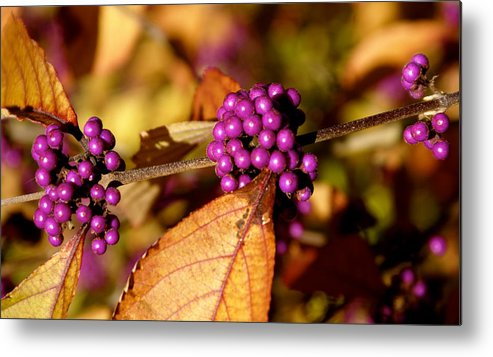 Botany Metal Print featuring the photograph Berry Bush by Sonja Anderson
