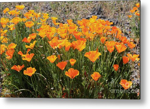 Poppies Metal Print featuring the photograph First Bloom by Gail Salitui