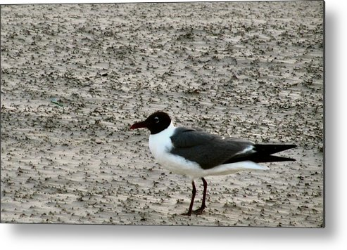 Seagull Metal Print featuring the photograph Lonely Seagull by Camera Candy