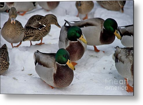 Ducks Metal Print featuring the photograph Isabella's Ducks by Joseph Yarbrough