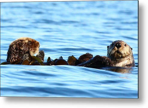 Sea Otters Kelp Bed Alaska Metal Print featuring the photograph Kelp Bed Rondezvous by Rick and Dorla Harness