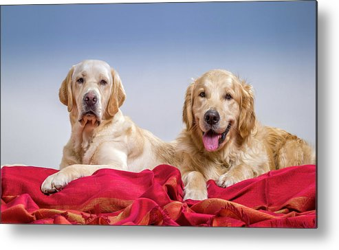 Photography Metal Print featuring the photograph Portrait Of A Golden Retriever by Animal Images