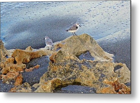 Sandpipers Metal Print featuring the photograph Sandpipers On Coral Beach by Joe Wyman