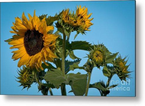 Sunflower Metal Print featuring the photograph Sunflower Morning by Cheryl Baxter