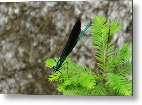 Damselflies Metal Print featuring the photograph Ebony Jewelwing Male by Bruce W Krucke