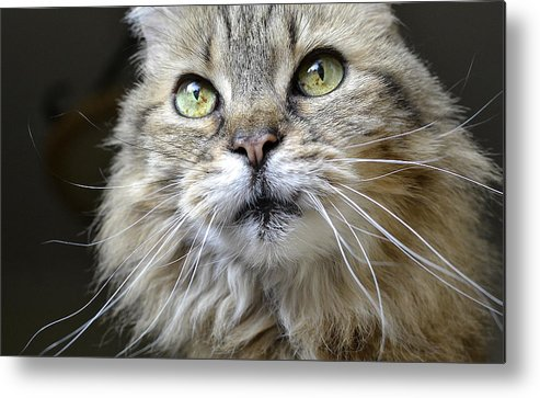 Maine Coon Metal Print featuring the photograph Lolas Whiskers by Fraida Gutovich